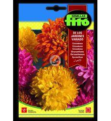 Crisantemo de los Jardines