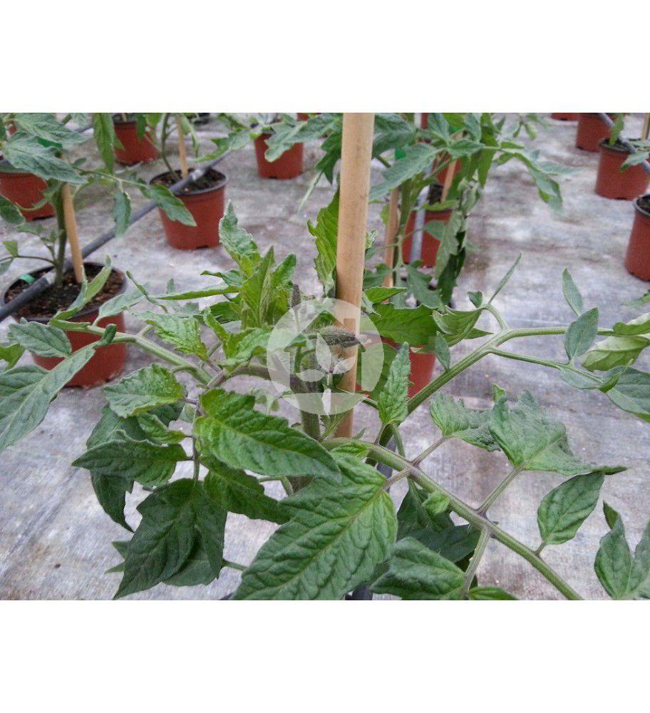 variedad tomate: