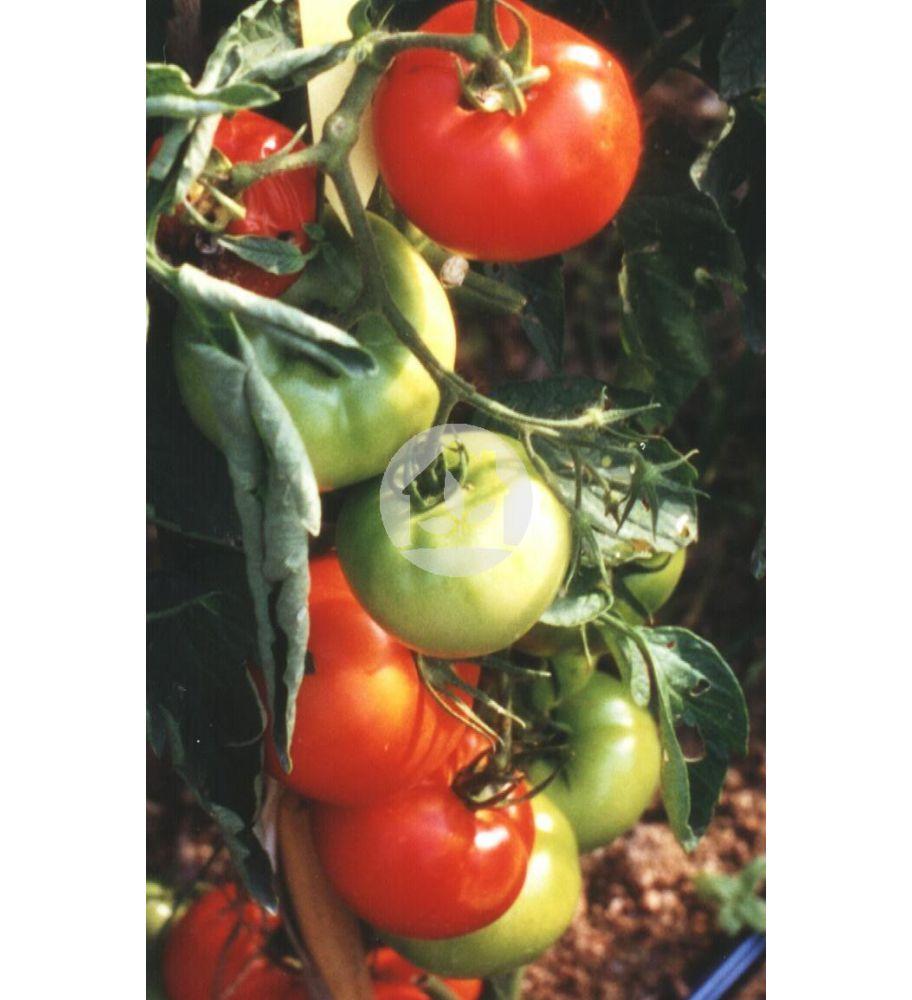 Tomate de caña (Variedad CID)