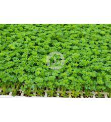 Plantas de perejil Rizado