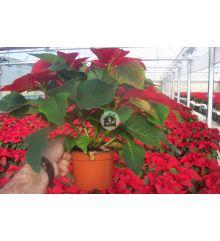 Poinsettia o Flor de pascua (Euphorbia pulcherrima) 8 Unidades