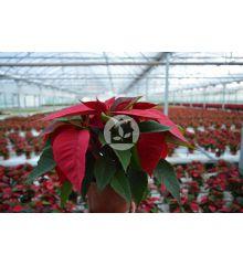 Poinsettia o Flor de pascua (Maceta de 12cm) 15 Unidades