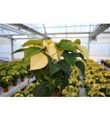 Poinsettia o Flor de pascua, Color Blanco (10 unidades)